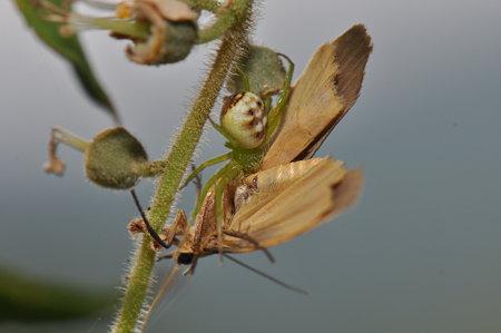 カニグモ科 ハナグモ