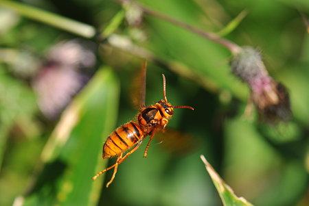スズメバチの画像 p1_19