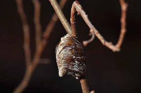 カマキリ科 ハラビロカマキリの卵鞘