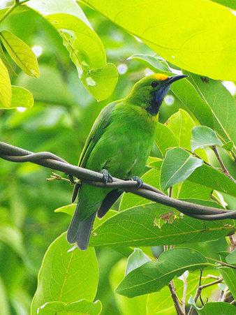 キビタイコノハドリ(Golden-fronted Leafbird) IMGP121115_R