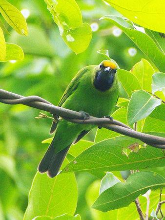 キビタイコノハドリ(Golden-fronted Leafbird) IMGP121108_R