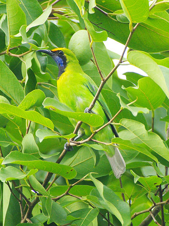 キビタイコノハドリ(Golden-fronted Leafbird) IMGP121118_R