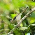 写真: ルリハコバシチメドリ(Blue-winged Minla) IMGP118739_R