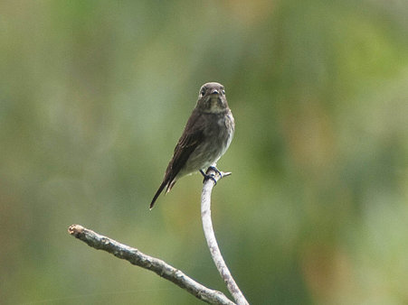 サメビタキ(Dark-sided Flycatcher) P1020738_R