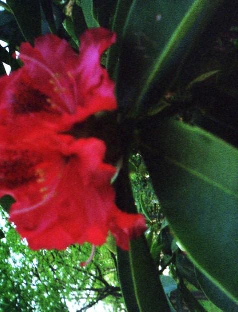 大きい紅い花