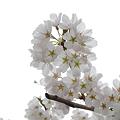 Photos: 盛岡城跡公園(岩手公園)の桜・5