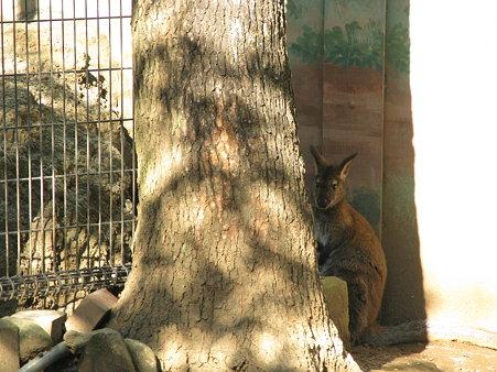 ワラビー@江戸川自然動物園