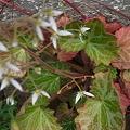 写真: ユキノシタ花咲く 2012-6