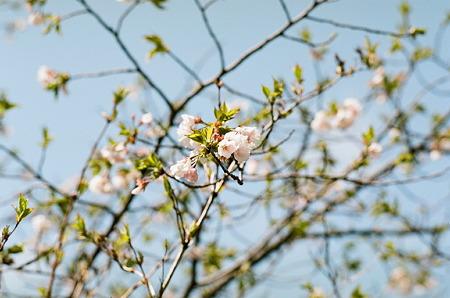 Cherry_blossm_Kodak_PORTRA160NC05062011CONTAX159MM01