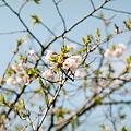 Photos: Cherry_blossm_Kodak_PORTRA160NC05062011CONTAX159MM01