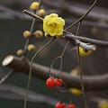 Photos: 蝋梅と赤い実