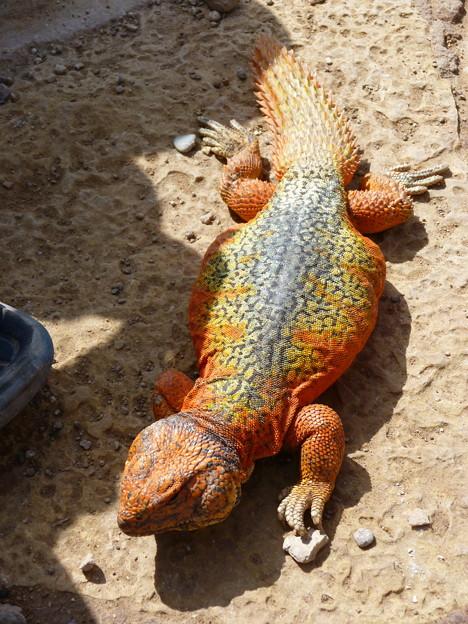 見世物にされるモロッコのトカゲ