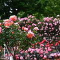 写真: 満開のバラ園