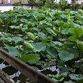 写真: 天然記念物 持明院 妙蓮池