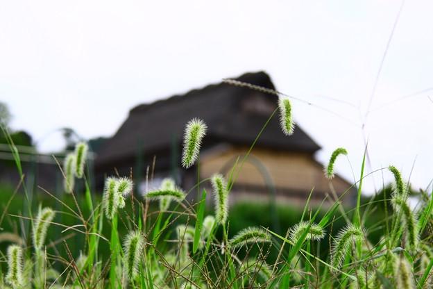 写真: ネコジャラシと茅葺の家