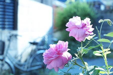 薔薇を見て