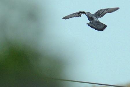 曇天の空を鳩も飛んでいました