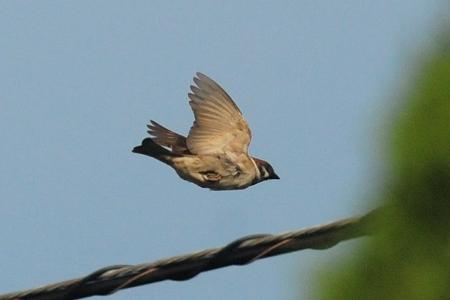 スズメの飛翔