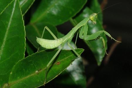 幼い蟷螂(カマキリ)