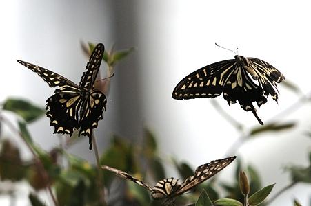 アゲハチョウが三つ巴