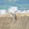 写真: フグをゲットして遁走するウミネコ