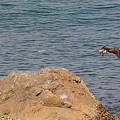 Photos: アオサギに追われたミサゴ
