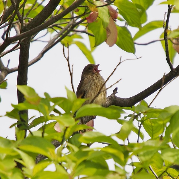 カワラヒワの幼鳥?#2