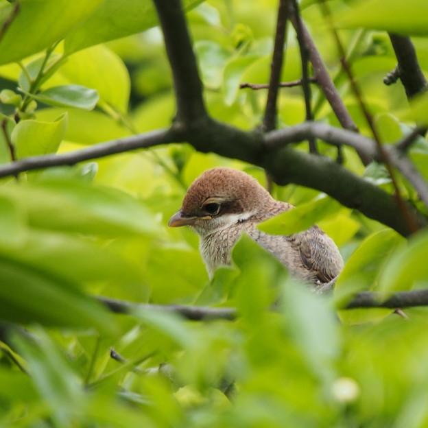 モズの幼鳥#2