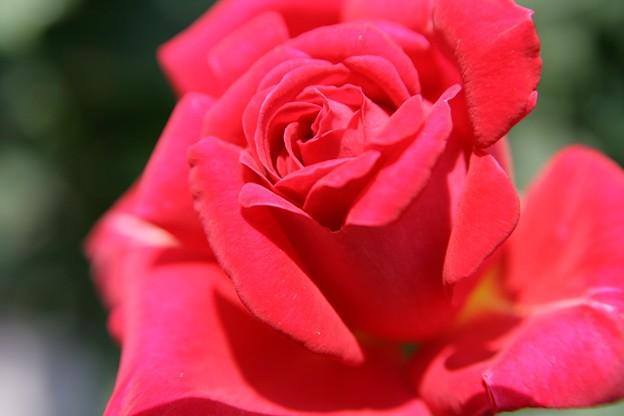 IMG_6216ばら園・薔薇(友愛)