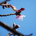 写真: ほころびはじめた寒緋桜5