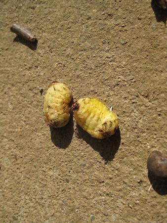イラガの蛹
