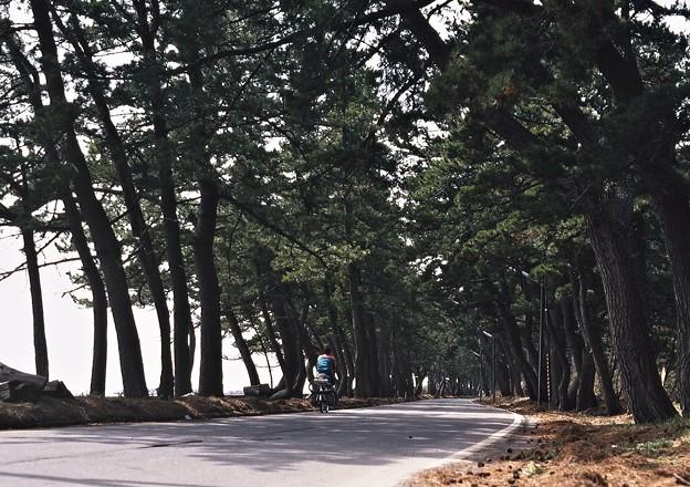 Photos: 青森湾沿いの松林