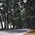 写真: 青森湾沿いの松林