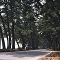 青森湾沿いの松林