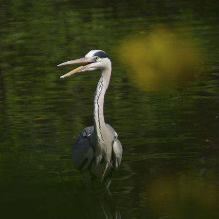 青鷺(heron)の微笑み