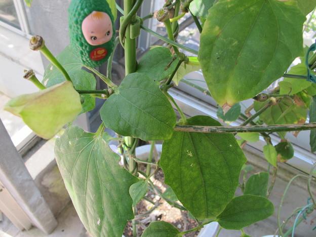 コダチヤハズカズラの葉