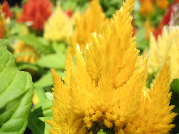 羽毛ケイトウの花4