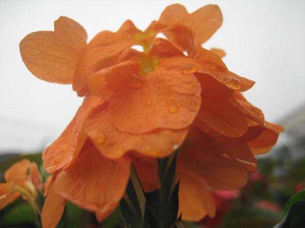 クロサンドラの花3