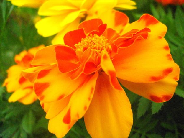 フレンチマリーゴールドの花3