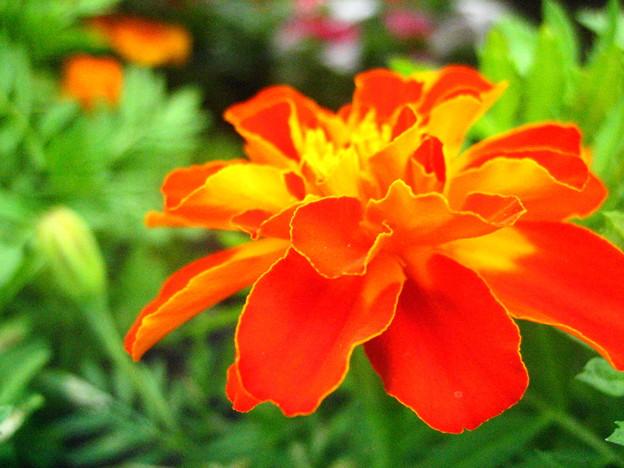 フレンチマリーゴールドの花4