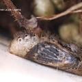 Photos: 蛹になったら羽化待ち。(ヤマトシジミ飼育羽化直前)