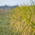 写真: 稲