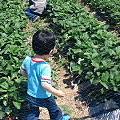 写真: 今日は 近所の友達の畑で初めての イチゴがり(^w^)楽しかったよ。私はイ...