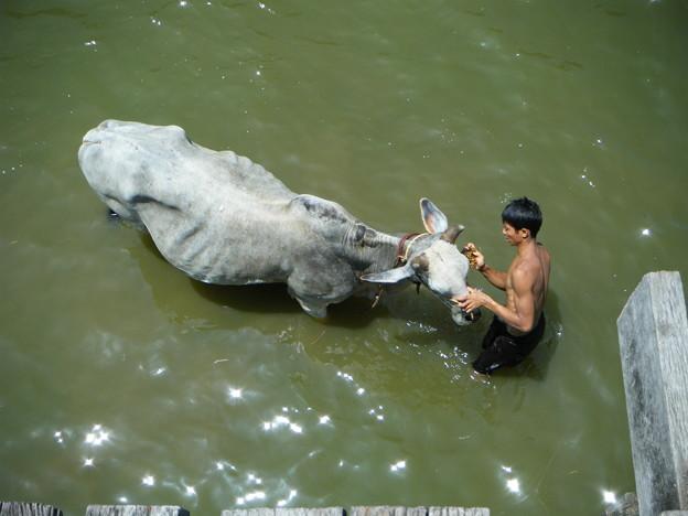 水牛を洗ってる。しかも、藁で。