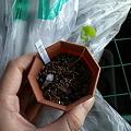 写真: Dioscorea elephantipes seeding