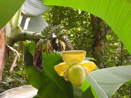 極楽から降りたらバナナが