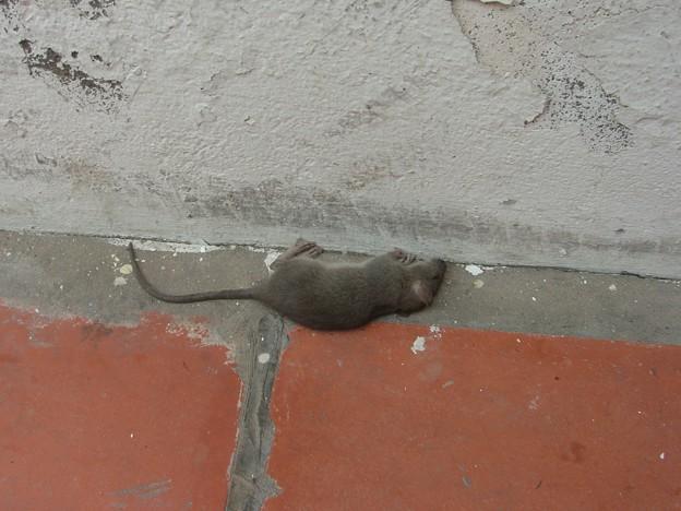 写真: 死んだ鼠