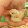 写真: シナモン文鳥のヒナですよ(^^)
