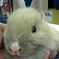 写真: ミニウサギ。 鼻の頭が白い...