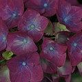Photos: 赤紫